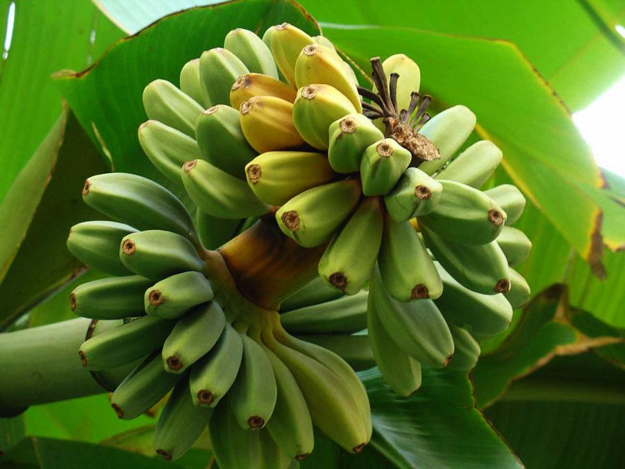 Fioriture fuori stagione risorse economia ambiente for Albero di banane